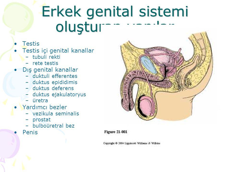 Erkek genital sistemi oluşturan yapılar Testis Testis içi genital kanallar –tubuli rekti –rete testis Dış genital kanallar –duktuli efferentes –duktus