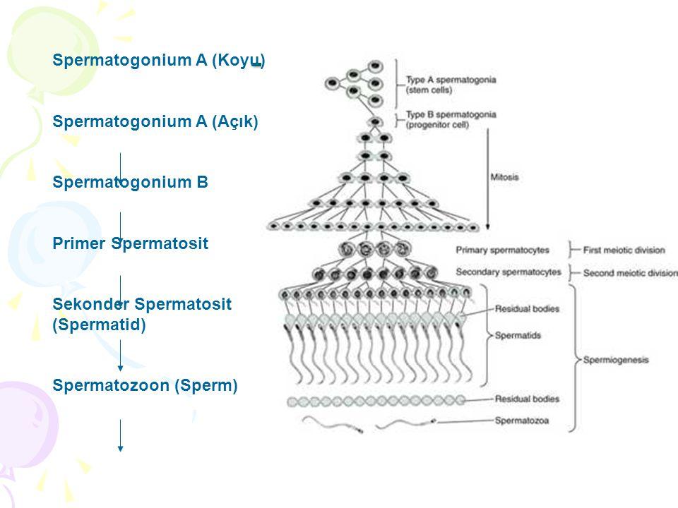 Testisler Spermatogonium A (Koyu) Spermatogonium A (Açık) Spermatogonium B Primer Spermatosit Sekonder Spermatosit (Spermatid) Spermatozoon (Sperm)