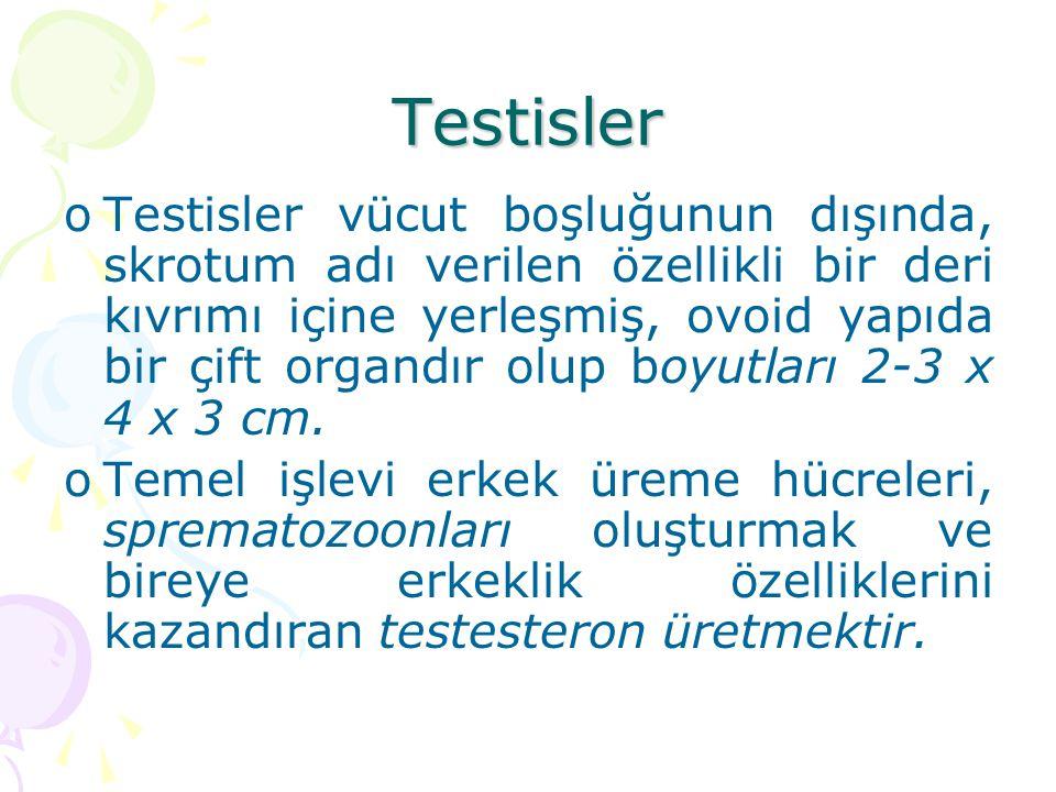 Testisler oTestisler vücut boşluğunun dışında, skrotum adı verilen özellikli bir deri kıvrımı içine yerleşmiş, ovoid yapıda bir çift organdır olup boy