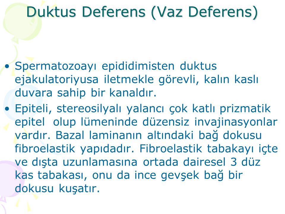 Duktus Deferens (Vaz Deferens) Spermatozoayı epididimisten duktus ejakulatoriyusa iletmekle görevli, kalın kaslı duvara sahip bir kanaldır. Epiteli, s