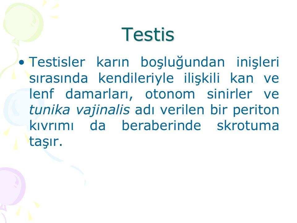 Testis Testisler karın boşluğundan inişleri sırasında kendileriyle ilişkili kan ve lenf damarları, otonom sinirler ve tunika vajinalis adı verilen bir