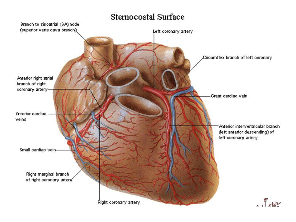 RCA Konus arter sağ ventrikül çıkış yolunu besler Pulmoner kapağın hemen altında sol anteriyor desandan arterin benzer dalıyla önemli bir kollateral a