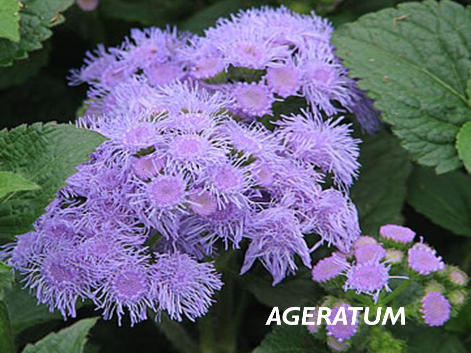 FAM İ LYA Asteraceae BOTAN İ K İ SM İ Ageratum houstoanianum TÜRKÇE İ SM İ Vapur Dumanı