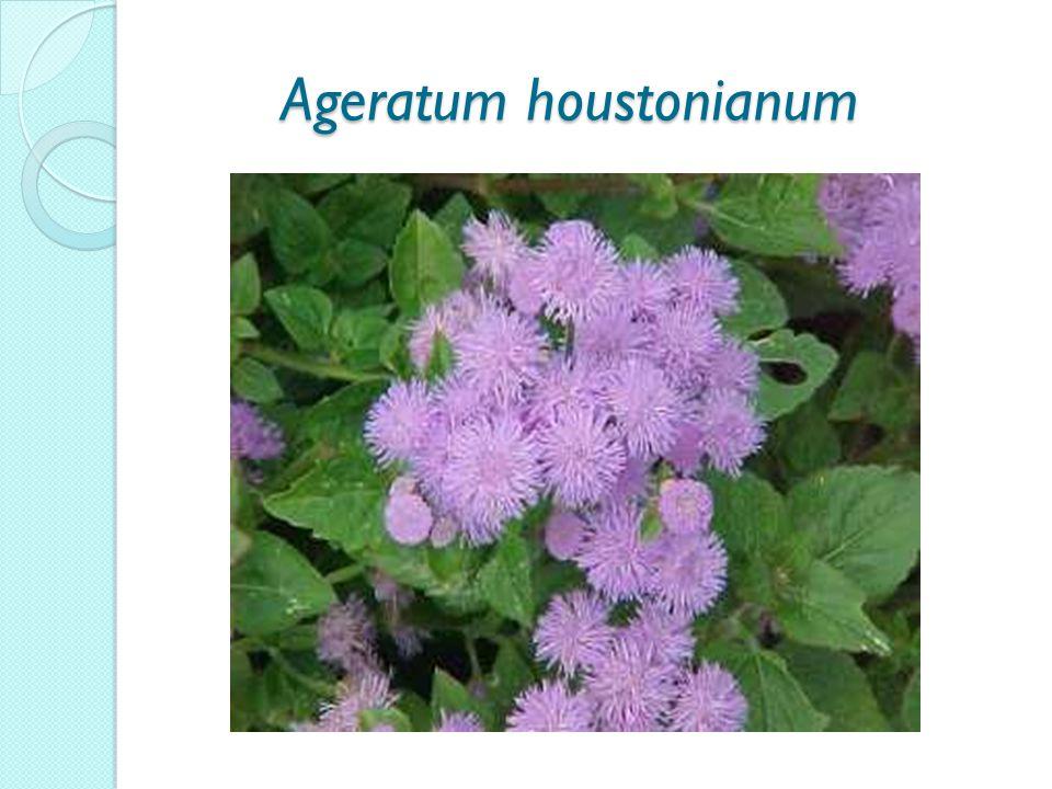 Ageratum houstonianum Ageratum houstonianum