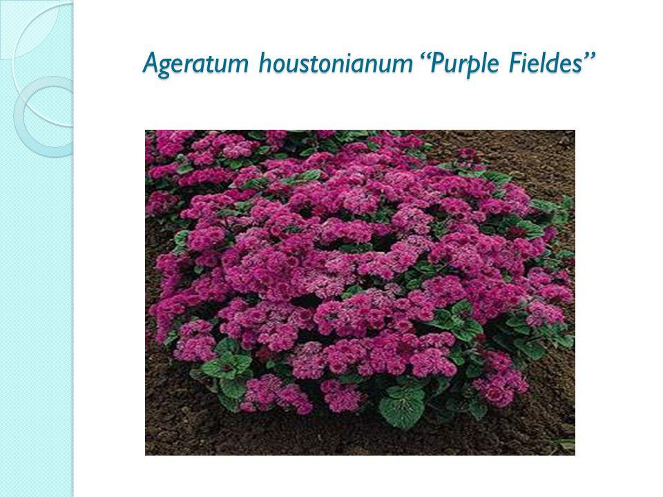 Ageratum houstonianum Purple Fieldes Ageratum houstonianum Purple Fieldes