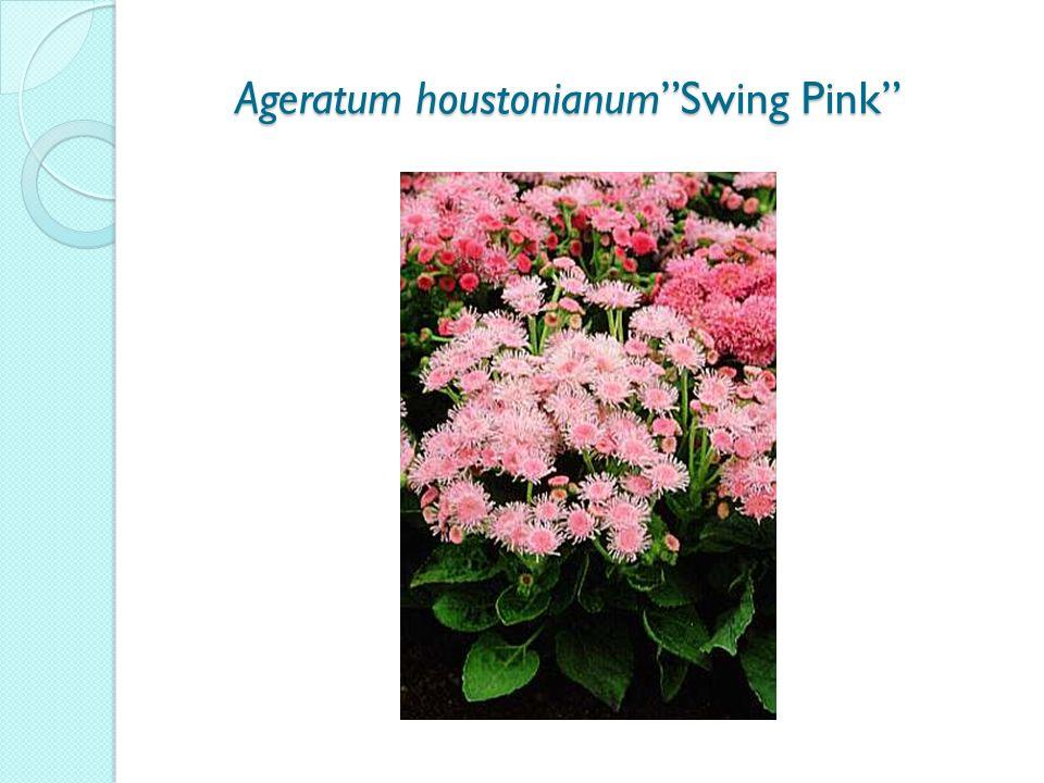 Ageratum houstonianum Swing Pink Ageratum houstonianum Swing Pink