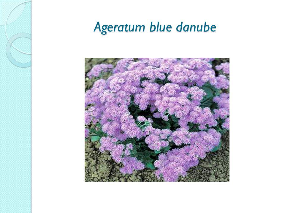 Ageratum blue danube Ageratum blue danube