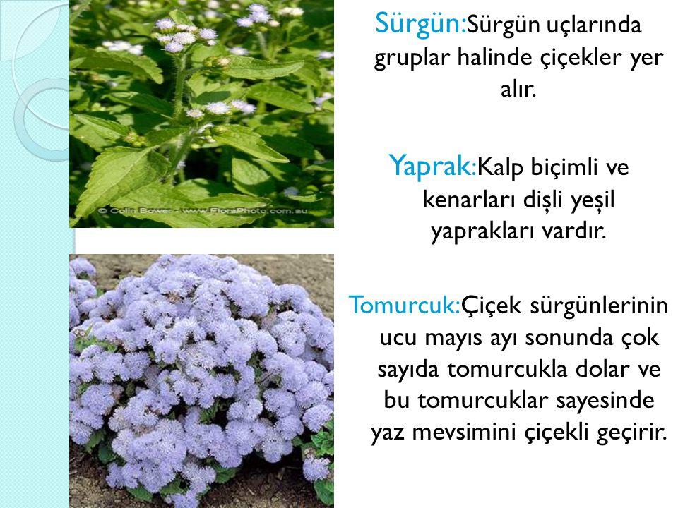 Çiçek: İ lkbahardan sonbaharın sonlarına kadar pon pon şeklinde bol sayıda açan ufak çiçeklerinin rengi maviden mora kadar de ğ işen tonlarda; seyrek olarak da beyaz ve pembe olur.