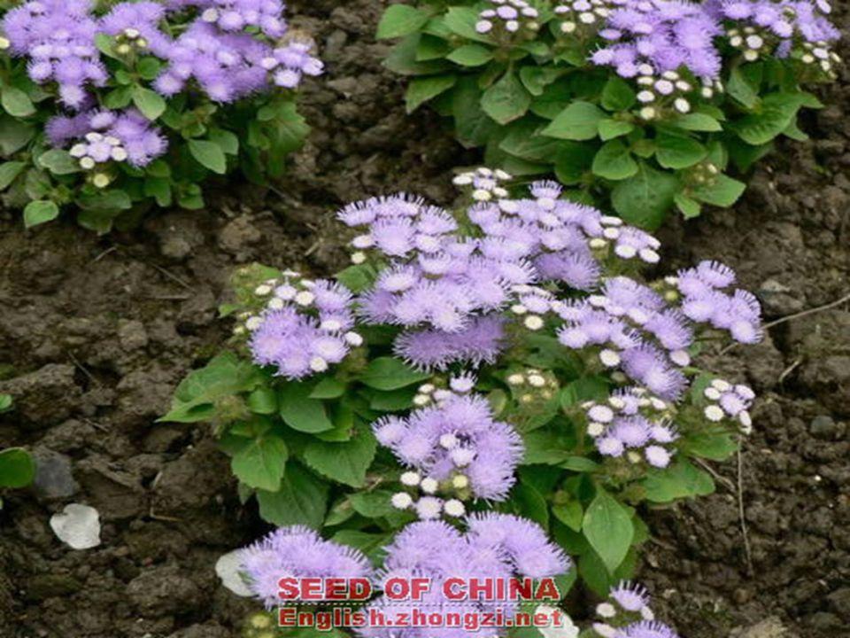 ÜRET İ M TEKN İĞİ ÜRET İ M TEKN İĞİ Tohumla ve çelikle üretilir.Tohumlar Şubat ayında sıcak yastıklara ekilir ve tüm yaz çiçek açacak fidanlar verir.