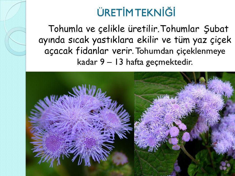 PEYZAJDA KULLANIMI PEYZAJDA KULLANIMI Çiçek bahçelerinde tek olarak kullanılabildikleri gibi di ğ er çiçeklerle birlikte gruplar halinde de kullanılabilir.
