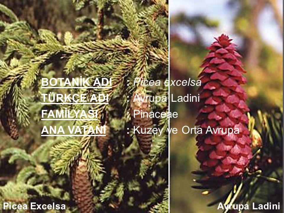 BOTANİK ADI: Picea excelsa TÜRKÇE ADI: Avrupa Ladini FAMİLYASI: Pinaceae ANA VATANI: Kuzey ve Orta Avrupa Picea ExcelsaAvrupa Ladini