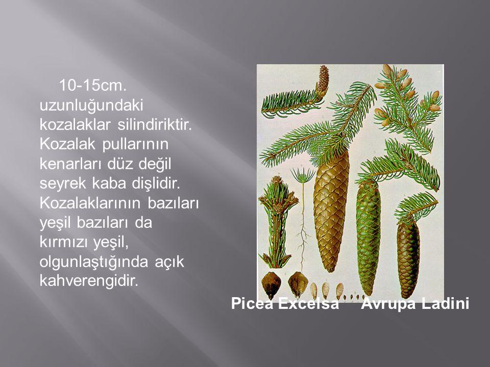Picea ExcelsaAvrupa Ladini