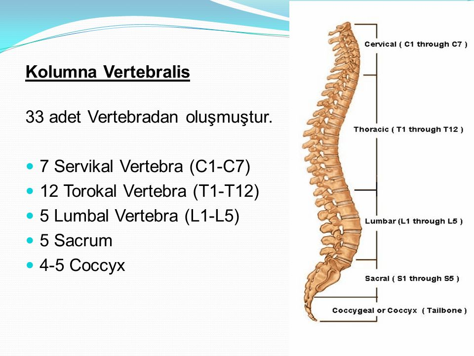 Kolumna Vertebralis 33 adet Vertebradan oluşmuştur. 7 Servikal Vertebra (C1-C7) 12 Torokal Vertebra (T1-T12) 5 Lumbal Vertebra (L1-L5) 5 Sacrum 4-5 Co