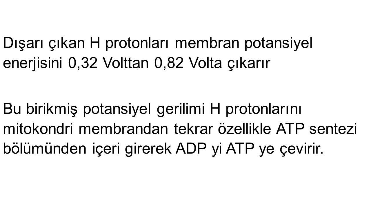 Dışarı çıkan H protonları membran potansiyel enerjisini 0,32 Volttan 0,82 Volta çıkarır Bu birikmiş potansiyel gerilimi H protonlarını mitokondri memb