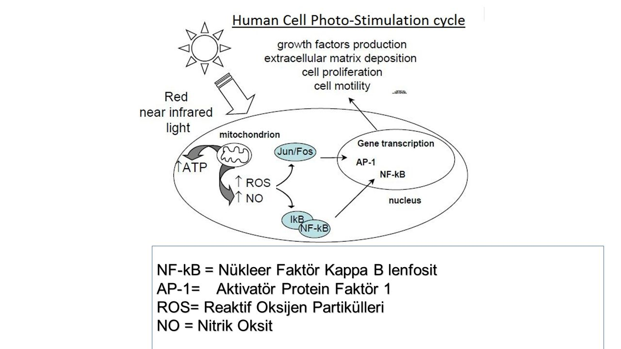 NF-kB = Nükleer Faktör Kappa B lenfosit AP-1= Aktivatör Protein Faktör 1 ROS= Reaktif Oksijen Partikülleri NO = Nitrik Oksit