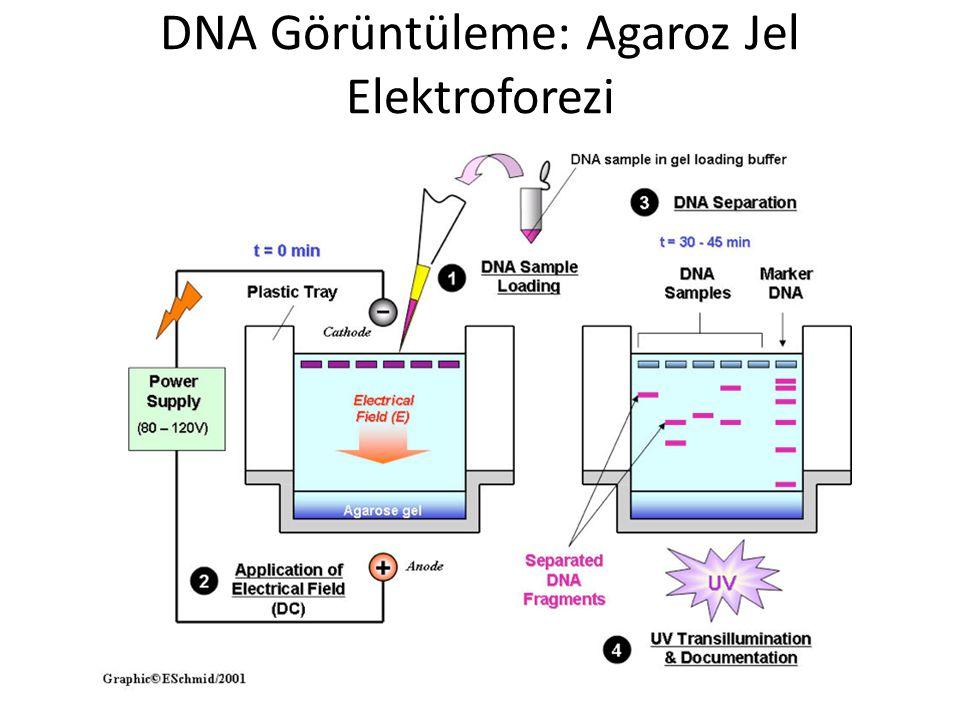 DNA Görüntüleme: Agaroz Jel Elektroforezi