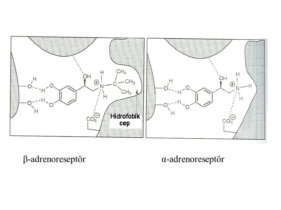 β-adrenoreseptör α-adrenoreseptör