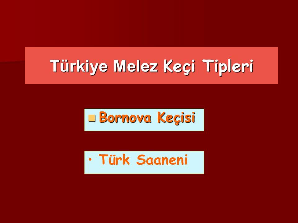 Türkiye Melez Keçi Tipleri Bornova Keçisi Bornova Keçisi Türk Saaneni