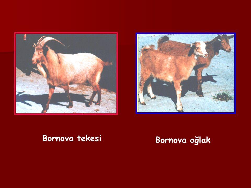 Bornova tekesi Bornova oğlak