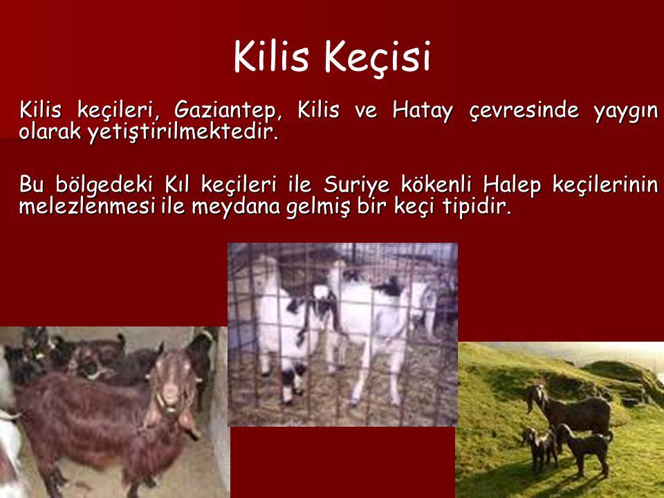 Kilis Keçisi Kilis keçileri, Gaziantep, Kilis ve Hatay çevresinde yaygın olarak yetiştirilmektedir. Bu bölgedeki Kıl keçileri ile Suriye kökenli Halep