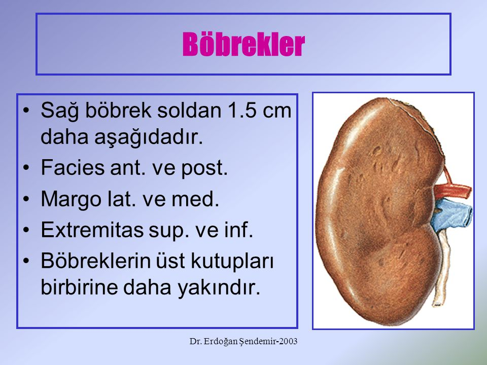 Dr. Erdoğan Şendemir-2003 Böbrekler Sağ böbrek soldan 1.5 cm daha aşağıdadır. Facies ant. ve post. Margo lat. ve med. Extremitas sup. ve inf. Böbrekle