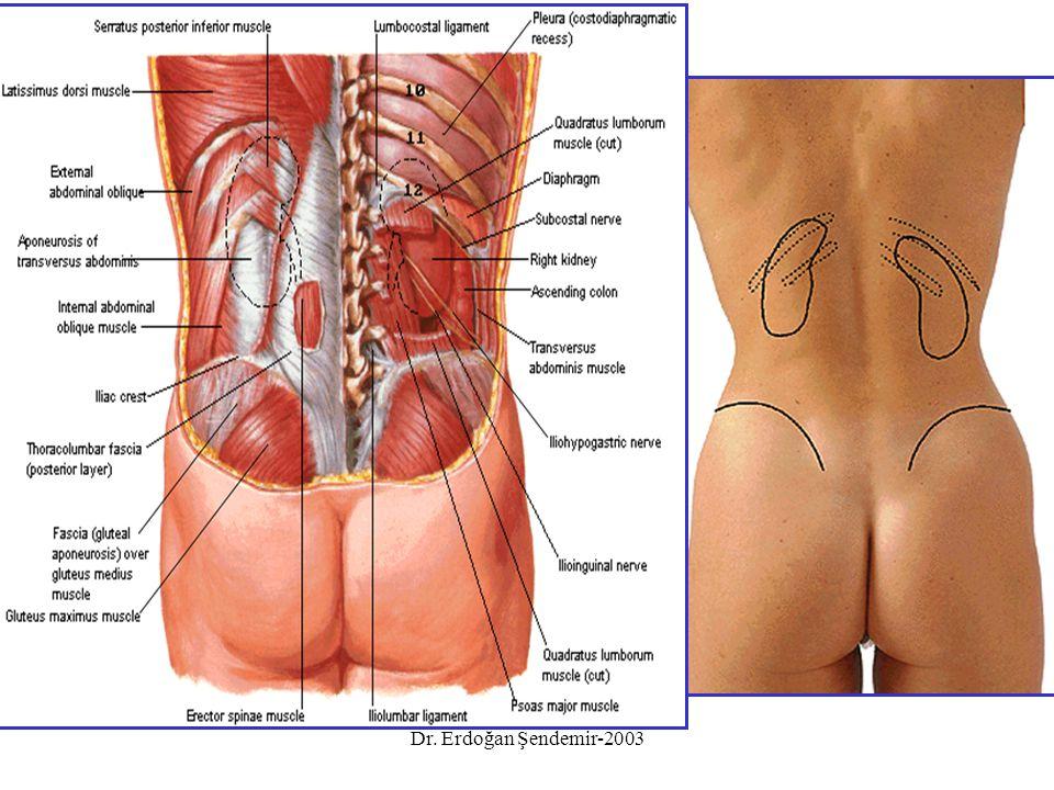 Üç darlığı var: 1.Üstte başlangıçta (pelvis) 2.Linea terminalis'i çaprazlarken- küçük pelvis girişi 3.Mesane duvarını geçerken- en dar yeri