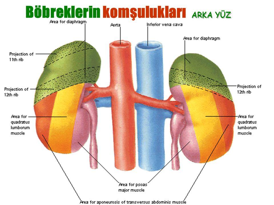 Dr. Erdoğan Şendemir-2003 ARKA YÜZ Böbreklerin komşulukları ARKA YÜZ