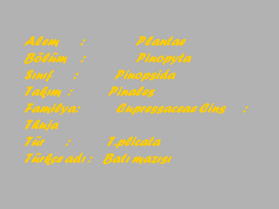 Alem : Plantae Bölüm : Pinopyta Sınıf : Pinopsida Takım :Pinales Familya: Cupressaceae Cins : Thuja Tür : T.plicata Türkçe adı : Batı mazısı