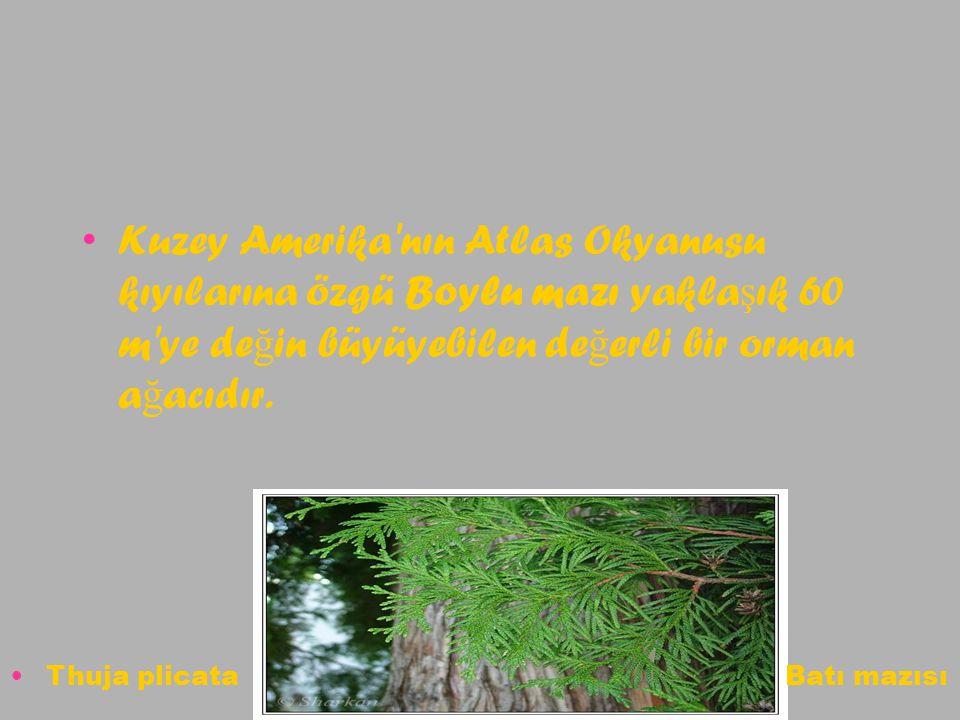 Kuzey Amerika'nın Atlas Okyanusu kıyılarına özgü Boylu mazı yakla ş ık 60 m'ye de ğ in büyüyebilen de ğ erli bir orman a ğ acıdır. Thuja plicata Batı