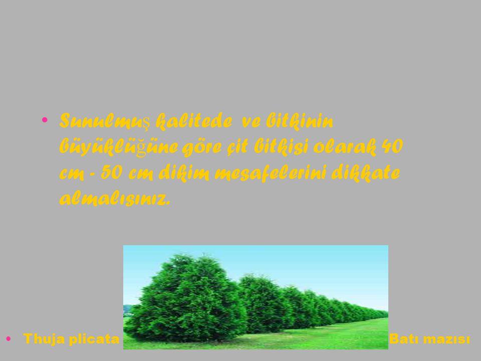 Sunulmu ş kalitede ve bitkinin büyüklü ğ üne göre çit bitkisi olarak 40 cm - 50 cm dikim mesafelerini dikkate almalısınız. Thuja plicata Batı mazısı