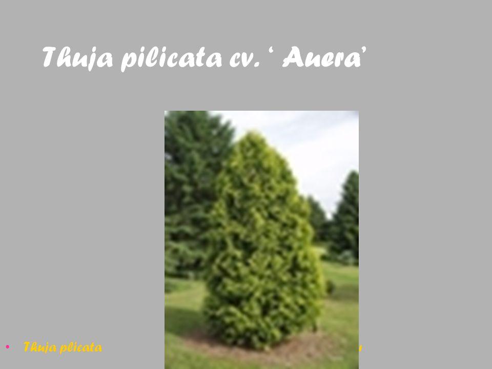 Thuja pilicata cv. ' Auera' Thuja plicata Batı mazısı