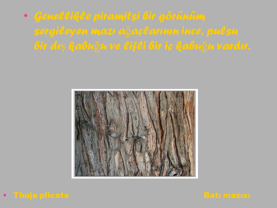 Genellikle piramitsi bir görünüm sergileyen mazı a ğ açlarının ince, pulsu bir dı ş kabu ğ u ve lifli bir iç kabu ğ u vardır. Thuja plicata Batı mazıs