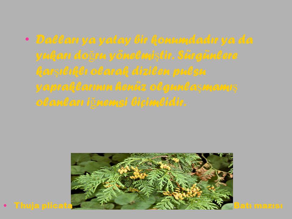 Ayrı dalların uçlarında olu ş an yuvarlak biçimli erkek çiçek kümelerinin kırmızımsı ya da sarımsı rengine kar ş ılık, oldukça küçük yapıdaki dili çiçek kümeleri leyla ğ ımsı ye ş il renkleriyle ayırt edilir Thuja plicata Batı mazısı