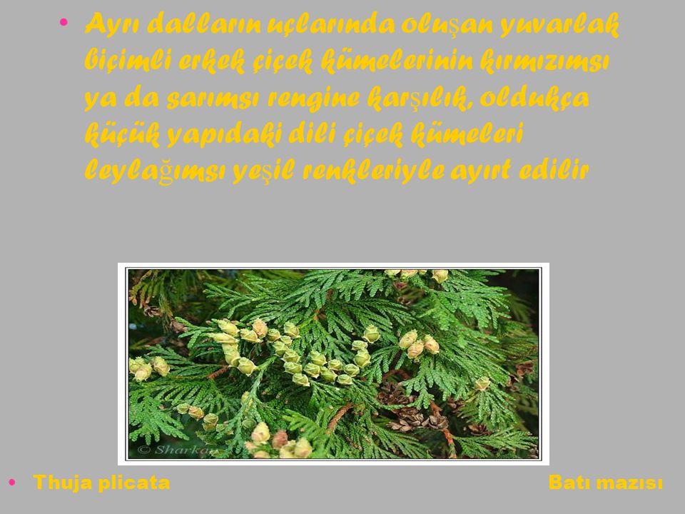Ayrı dalların uçlarında olu ş an yuvarlak biçimli erkek çiçek kümelerinin kırmızımsı ya da sarımsı rengine kar ş ılık, oldukça küçük yapıdaki dili çiç