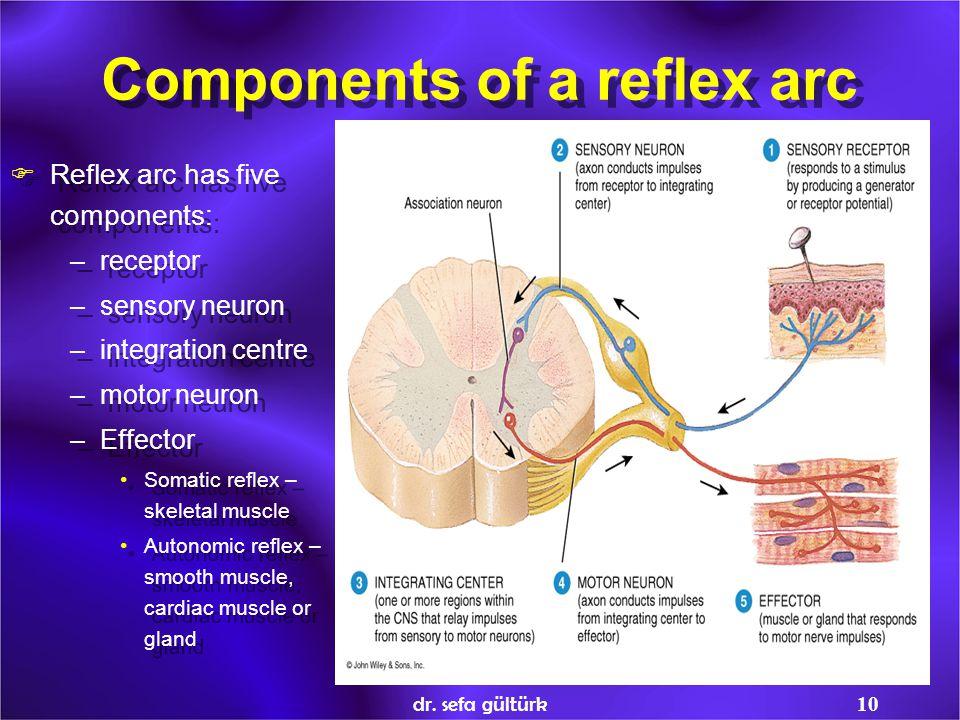 dr. sefa gültürk10 Components of a reflex arc  Reflex arc has five components: –receptor –sensory neuron –integration centre –motor neuron –Effector
