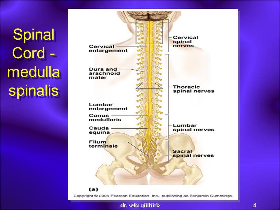 4 Spinal Cord - medulla spinalis