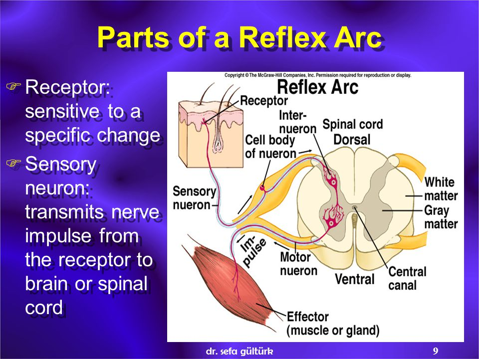 9 Parts of a Reflex Arc  Receptor: sensitive to a specific change  Sensory neuron: transmits nerve impulse from the receptor to brain or spinal cord  Receptor: sensitive to a specific change  Sensory neuron: transmits nerve impulse from the receptor to brain or spinal cord