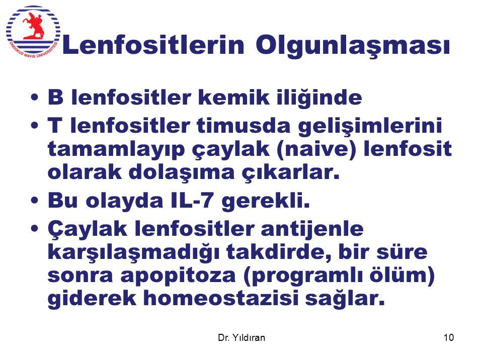 Lenfositlerin Olgunlaşması B lenfositler kemik iliğinde T lenfositler timusda gelişimlerini tamamlayıp çaylak (naive) lenfosit olarak dolaşıma çıkarla