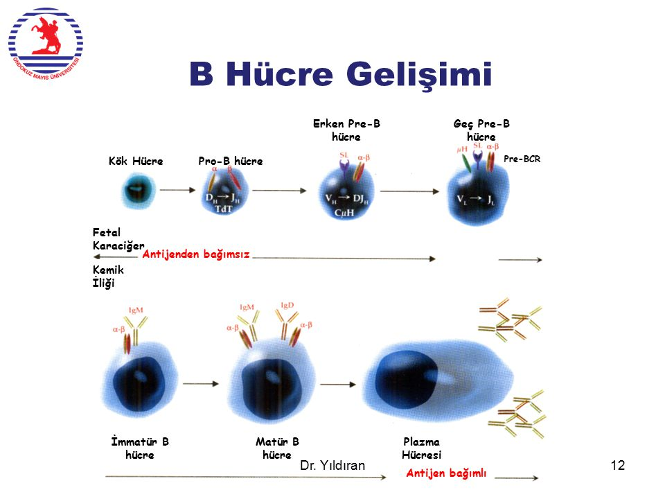 B Hücre Gelişimi Antijenden bağımsız Antijen bağımlı Kök HücrePro-B hücre Erken Pre-B hücre Geç Pre-B hücre Pre-BCR İmmatür B hücre Matür B hücre Plaz