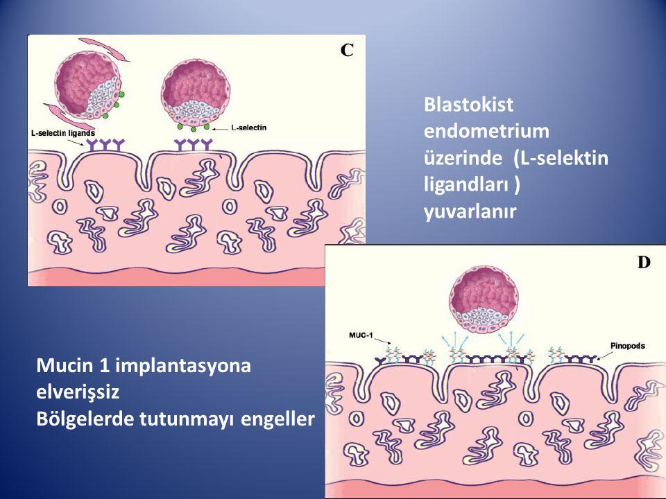 Blastokist endometrium üzerinde (L-selektin ligandları ) yuvarlanır Mucin 1 implantasyona elverişsiz Bölgelerde tutunmayı engeller