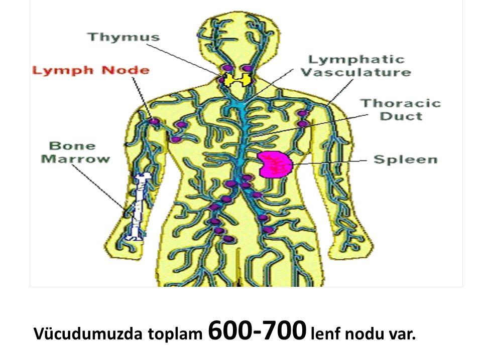 Vücudumuzda toplam 600-700 lenf nodu var.