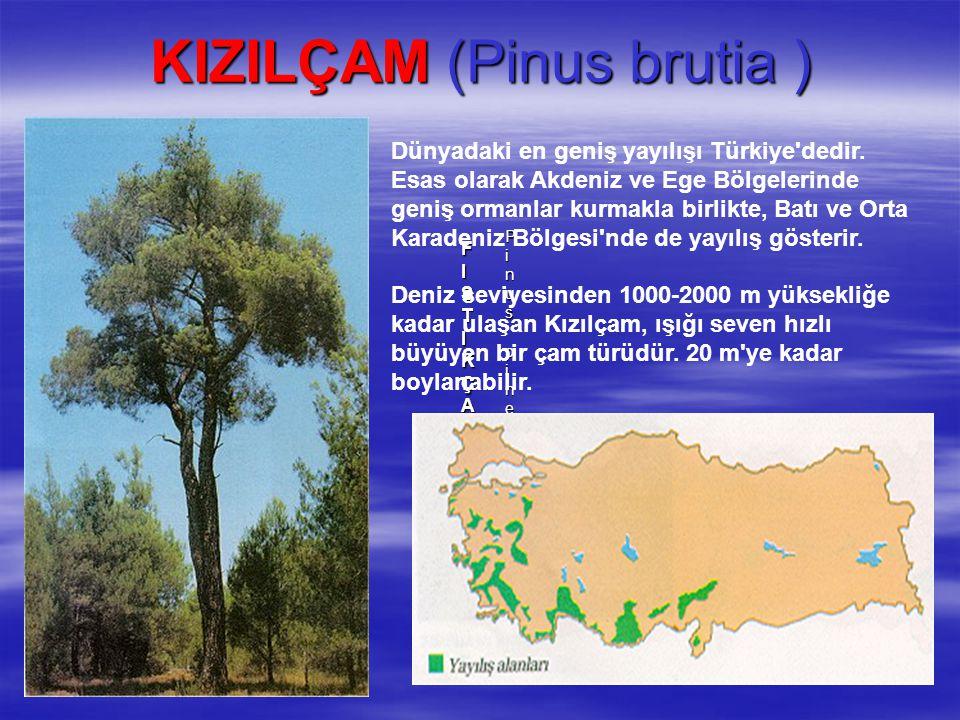KIZILÇAM (Pinus brutia ) FISTIKÇAMI FISTIKÇAMI FISTIKÇAMI FISTIKÇAMI Pinus pinea L.Pinus pinea L.Pinus pinea L.Pinus pinea L. Dünyadaki en geniş yayıl