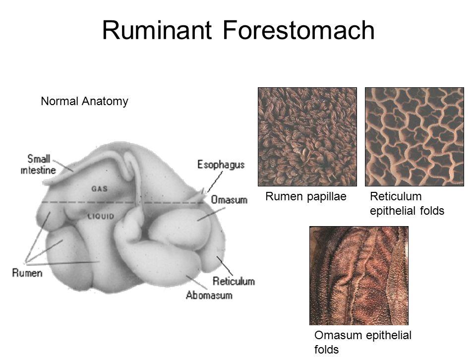 Rumen, reticulum ve omasum bölümlerine ayrılan ruminantların ön mide sistemleri kutan bir mukoza ile örtülüdür.