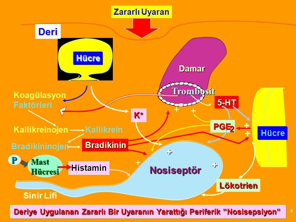 Koagülasyon Faktörleri P Hücre Damar Hücre Nosiseptör Zararlı Uyaran KallikreinojenKallikrein Bradikininojen Bradikinin Sinir Lifi 5-HT K+K+K+K+ Hista