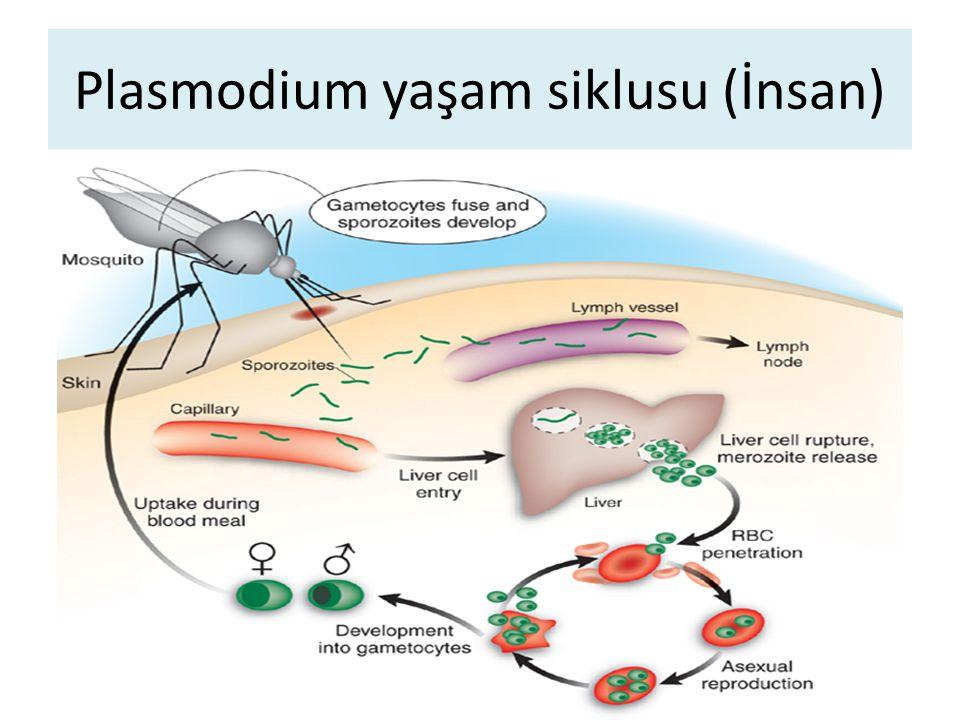 Plasmodium yaşam siklusu (İnsan) 32