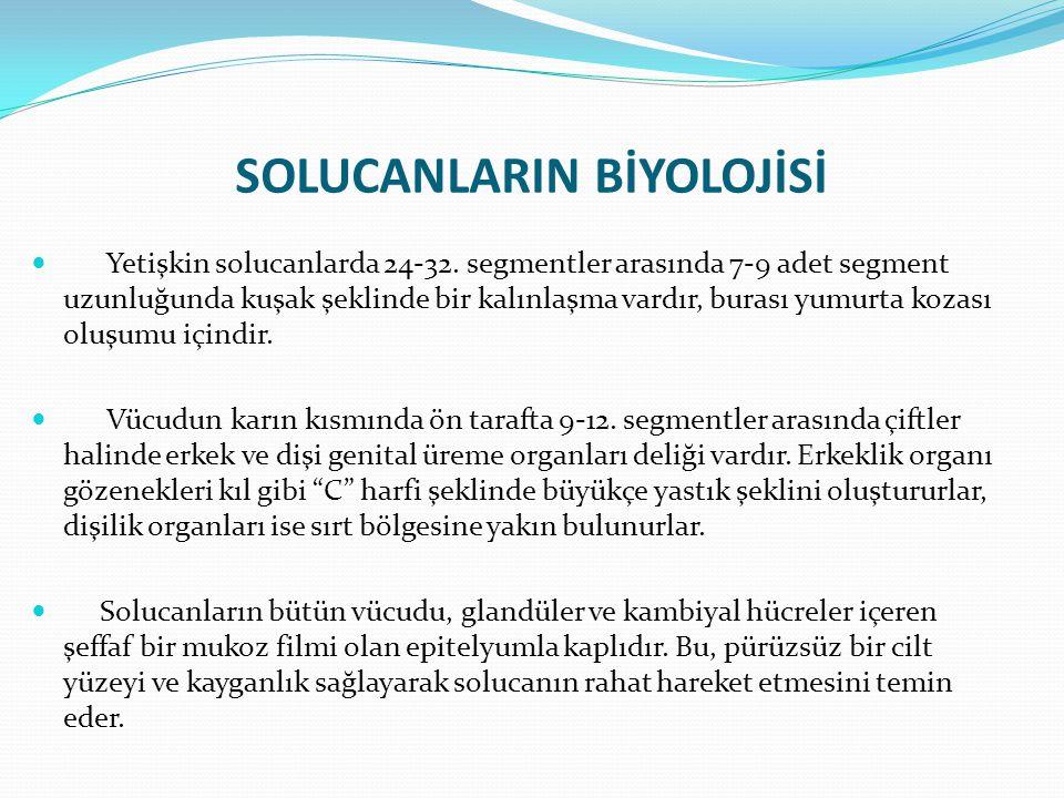 SOLUCANLARIN BİYOLOJİSİ Yetişkin solucanlarda 24-32.