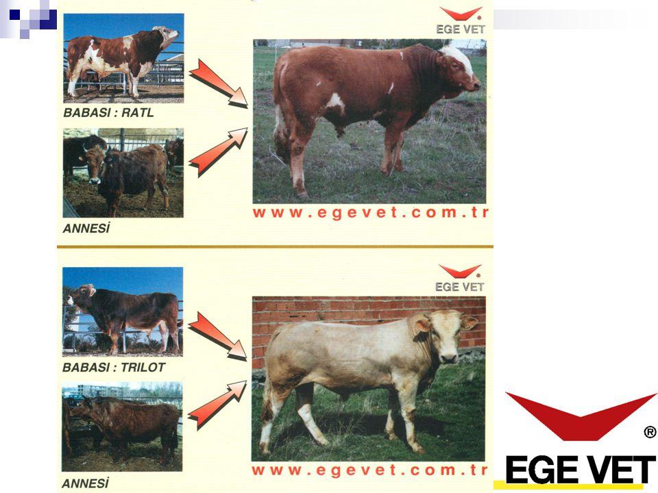 Sığır Yetiştiriciliğinde Irk Islahı -Nerede olduğunu tanımla -Nerede olmak istediğini belirle -Amaca ulaşmak için yol haritası çiz www.egevet.com.tr