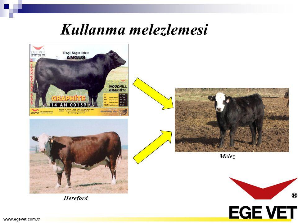 Kullanma melezlemesi www.egevet.com.tr Melez Hereford