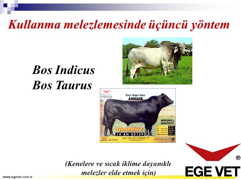 Kullanma melezlemesinde üçüncü yöntem Bos Indicus Bos Taurus (Kenelere ve sıcak iklime dayanıklı melezler elde etmek için) www.egevet.com.tr