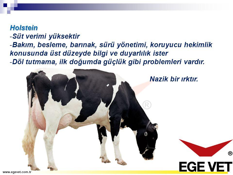 Holstein -Süt verimi yüksektir -Bakım, besleme, barınak, sürü yönetimi, koruyucu hekimlik konusunda üst düzeyde bilgi ve duyarlılık ister -Döl tutmama